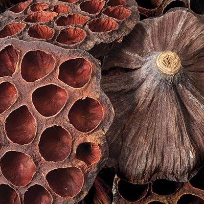 Natural Lotus Pods Large